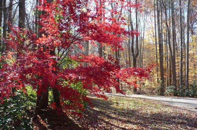 beautiful-red-maple