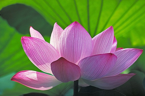 Lotus flower buddha amadea morningstar lotus flower buddha mightylinksfo Image collections
